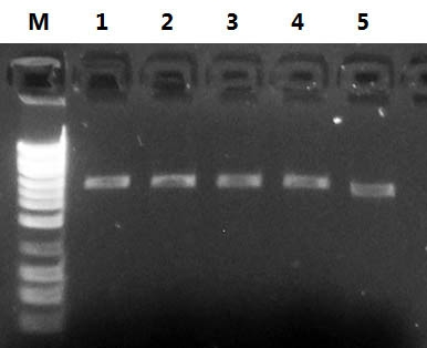 Figure 1.  High Quality of Plasmid DNA