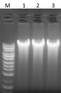 Cells and Tissue DNA Isolation Kit Figure 1