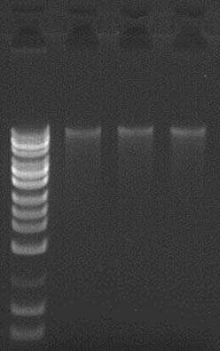 Figure 1.  Good Yield and Integrity of DNA