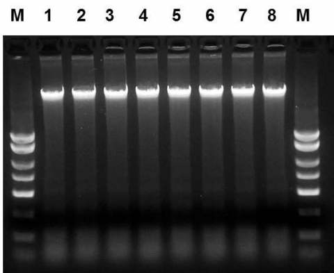 Figure 1. High Quality and Yield of DNA from Saliva Samples.