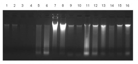 Figure 1.  Consistent Isolation of Sputum DNA