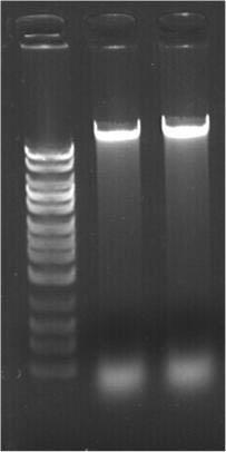 Sputum Liquification Buffer (10X) Figure 1