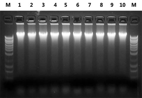 Figure 1. High Quality DNA Isolated from Preserved Stool Samples
