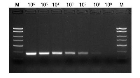 Figure 3. Highly Sensitive Isolation of Viral DNA